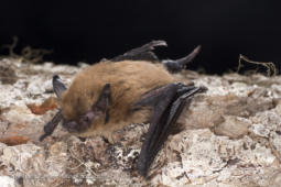 California Myotis on tree