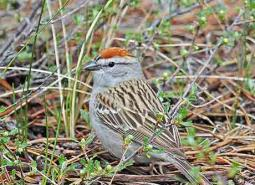 Chipping-sparrow_Keith-Kohl_460.jpg