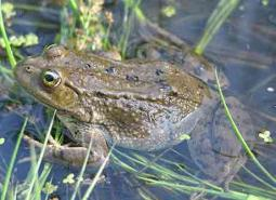 Columbia-Spotted-Frog-Adult_USGS_460.jpg