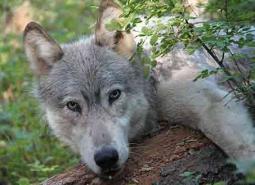 Gray-wolf-male_460.jpg