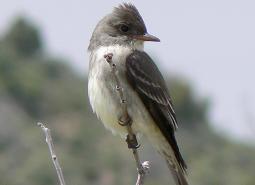 Olive-sided-Flycatcher_Dennis-Garrison_USFS_460.jpg
