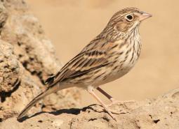 Oregon Vesper Sparrow