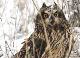 Short-eared-owl_Keith-Kohl_460.jpg